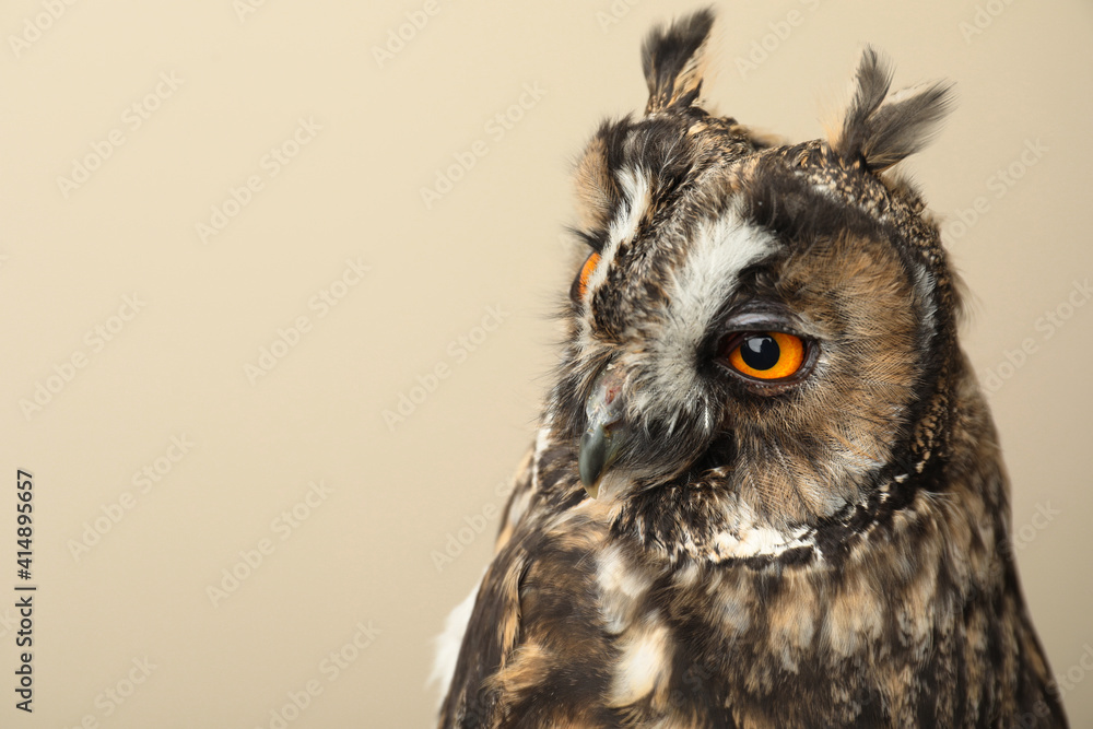 Fototapeta Beautiful eagle owl on beige background, space for text. Predatory bird