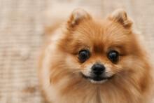 Funny Pomeranian Dog With Happy Face. Pomeranian Spitz. Pom Dog. Cute Pets