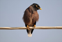 Closeup Shot Of A Common Myna Bird Perched On A Branch
