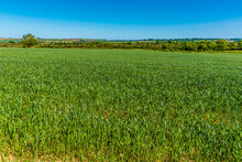 A View Across A Field Of Barley Growing Outside Great Bowden Close To Market Harborough In Summertime