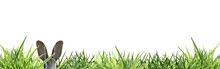 Banner Easter Bunny Peeping Through Green Grass Isolated On White Banner - Copy Space