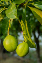 Fruit Of Cerbera Odollam Or Suicide Tree Or Pong-pong Or Othalanga Photographed In Thailand