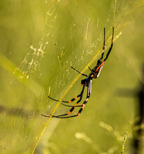 Golden Orb Spider On The Web