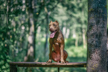 Young Handsome Pit Bull Terrier In The Summer Forest.