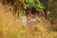White Geese The Rest And Cleaning Plumage After Bathing On Grass At Sunset.