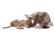 Mum Cat And Kitten Cleaning