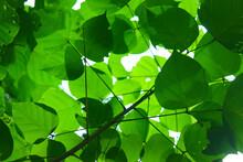 Closeup Shot Of Sunlit Green Leaves