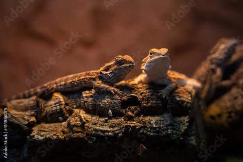 Fototapeta Selective focus shot of lizards on a wooden stump