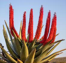 Aloe In Bontebok National Park, Swellendam, South Africa