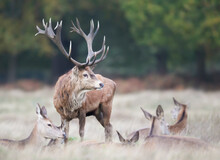 Red Deer Stag Standing Among A Group Of Hinds During Rutting Season In Autumn