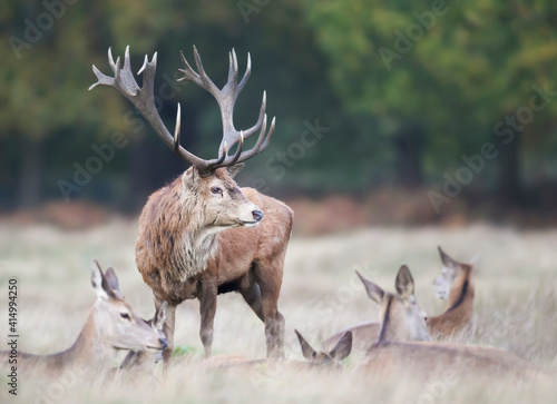 Fototapeta Red deer stag standing among a group of hinds during rutting season in autumn