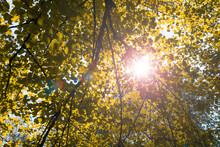 Bright Warm Yellow Sunlight Through Trees With Green Leaves. Look Up View On Tops Of Trees And Sunbeam Through It.Autumn Season