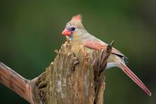 A Female Northern Cardinal Behind A Tree Stump