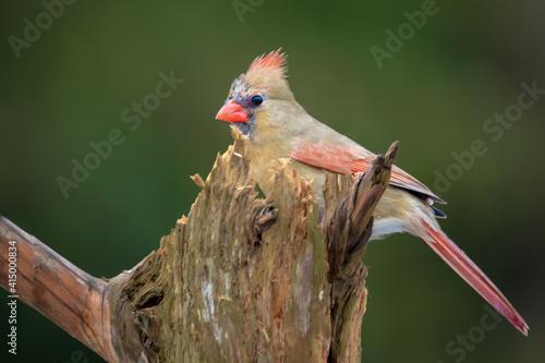 Billede på lærred a female northern cardinal behind a tree stump