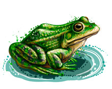 Frog. Color, Graphic, Vector Portrait Of A Frog On A White Background In Watercolor Style.