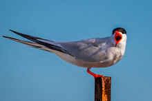 Common Tern On A Pole Is Warning Intruders Loudly.