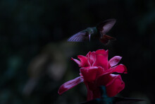 Hummingbird Flying Over A Red Flower In Boca Tapada, Costa Rica