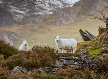 Two White Sheep In The Welsh Mountains