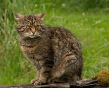 Wild Cat Sitting On A Log