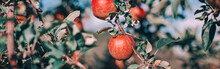 Beautiful Ripe Red Apples On Branches In Orchard Garden. Organic Sweet Fruits Hanging On Apple Trees On Farm. Eco Natural Background. Sunny Summer Or Autumn Fall Day In Countryside.