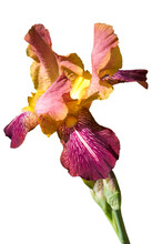 One Purple Yellow Iris (Íris) With Bud On White Isolated Background Close Up