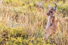 Western Gray Giant Kangaroo In Tall Grass