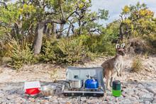 Western Grey Kangaroo At Camping Stove, Western Australia