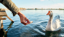 Closeup Of A Hand With Bread Feeding Geese On The Lake At Sunset