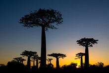 Silhouettes Of Tall Baobab Trees Growing On Background Of Sundown Sky On Madagascar