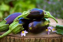 Eggplants Or Aubergines. Summer Vegetables In Garden
