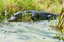 American Florida Alligator Sunning In Swamp At Circle B Bar Reserve, Lakeland, Florida, USA