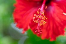Macro Of Red Hibiscus Rosa-sinensis Petals And Polen. Red Macro Shot Of Hibiscus Or Gumamela