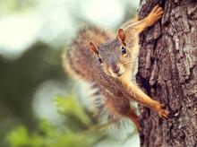 Cute Little Eastern Fox Squirrel (Sciurus Niger) Peeking Out From Behind A Tree Trunk