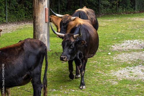 Vászonkép Heck cattle, Bos primigenius taurus or aurochs in the zoo