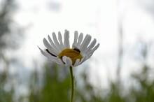 Oxeye Daisy In Summer Breeze
