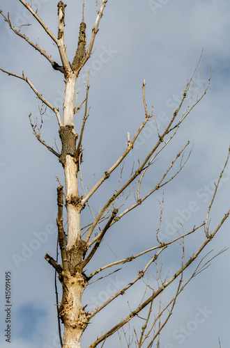 Old dry trunk of poplar with the sky in the background. © LFRabanedo
