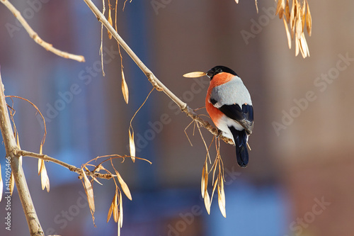 Fotografie, Obraz a bullfinch  sitting on a branch