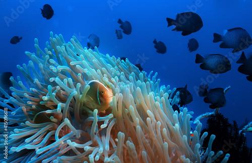 clown fish coral reef / macro underwater scene, view of coral fish, underwater d Fototapet