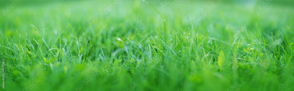 Fototapeta Fresh green grass background in sunny summer day