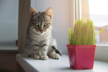 A Gray Cute Cat On The Windowsill Looks At The Camera, There Is A Pot Of Grass For Kittens Nearby. Pet Care Concept.