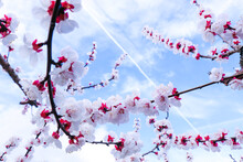 Beautiful Abstract Spring Blooming Background, Cherry Blossom Branches On Blue Sky Background. Pink Sakura Flowers On Blossoming Tree On Sunny Days, Dreamy Romantic Picture With Selective Focus.