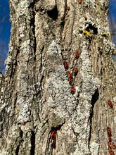 Insectes (Pyrrhocore) Aussi Appelés Gendarmes Pour Leur Ressemblance Avec Les Premiers Uniformes. Mais On Les Appelle Aussi Cherche-midi Pour Leur Attirance Pour Le Soleil Au Zénith (ou Punaise Rouge)