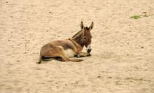 Light Brown Donkey Lying In Egyptian Sand.