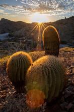 Endemic Giant Barrel Cactus (Ferocactus Diguetii), On Isla Santa Catalina, Baja California Sur