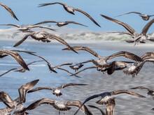 Juvenile Western Gulls (Larus Occidentalis) Feeding On Tuna Crabs, Isla Magdalena, Baja California Sur