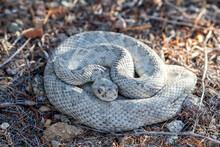 Ashy Morph Of The Santa Catalina Rattlesnake (Crotalus Catalinensis), Endemic To Isla Santa Catalina, Baja California Sur