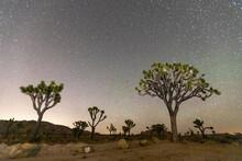 Joshua Tree (Yucca Brevifolia), At Night In Joshua Tree National Park, Mojave Desert, California