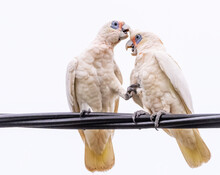 Two Little Corella's (Cacatua Sanguinea), Also Known As The Bare-eyed Cockatoo, Blood-stained Cockatoo, Short-billed Corella, Little Cockatoo, And Blue-eyed Cockatoos