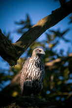 Crested Serpent Eagle In The Forests Of India