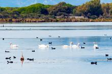 Swans (Cygnus Cygnus) And Eurasian Coots (Fulica Atra) At Burano Lake WWF Oasis, Capalbio, Grosseto Province, Tuscany